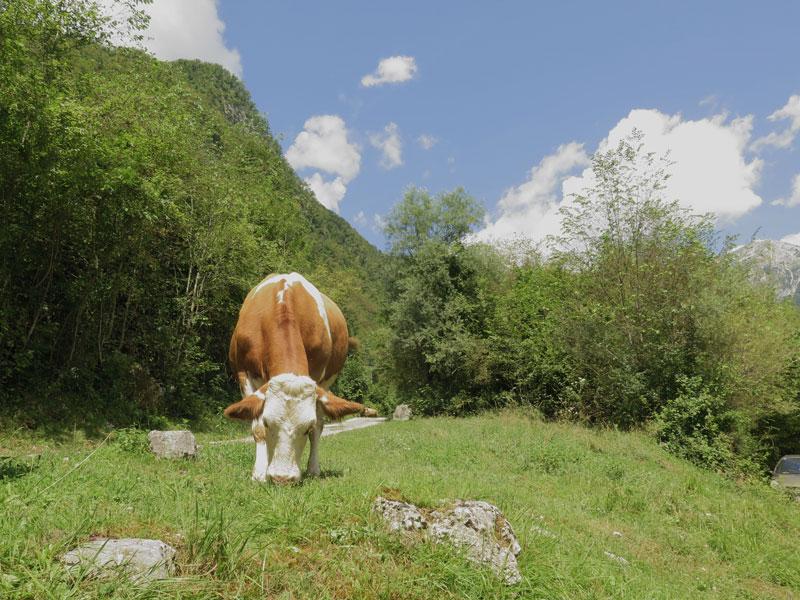 javorca, cow, bron MijnSlovenie