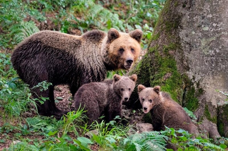 bruine, beren