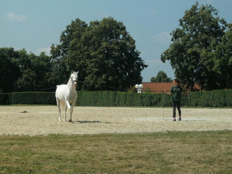 lipizzaner paard
