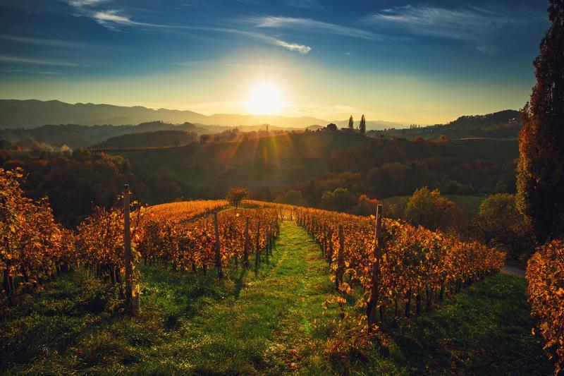 wijngaarden bij Maribor herfst